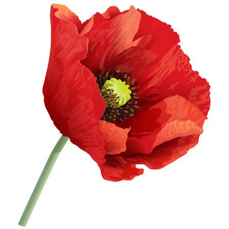 poppy: Ilustración del vector de la flor de amapola roja en un tallo verde. Vectores