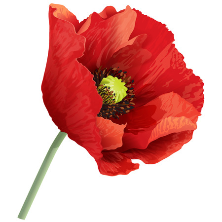 Vector illustration of red poppy flower on a green stem.