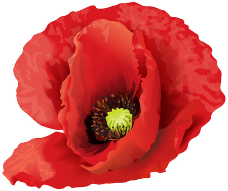 Vector illustration of big red poppy flower.