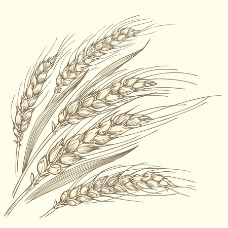 Monochrome hand-drawn vector illustration of a few ripe wheat ears with leaves. Иллюстрация