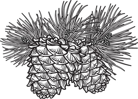 Vector hand drawn black and white  illustration of two pine cones with needles