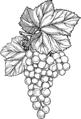 black grape: Vector hand drawn black and white illustration of grape branch with bunch of grapes and leaves. Wine label design element.