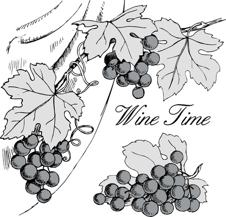 black grape: Vector hand drawn black and white illustration of grape branches with bunches of grapes and leaves. Good for wine list, winery or wine shop banner or wine label design element.