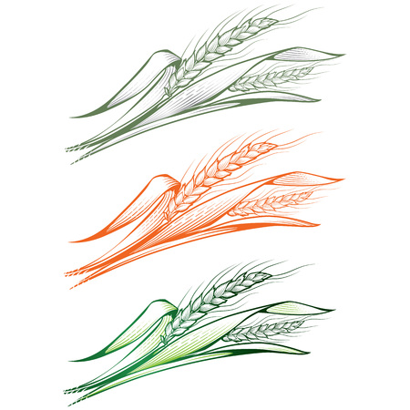 green wheat: Monochrome hand-drawn vector illustration of a few ripe and young green wheat ears with leaves. Illustration