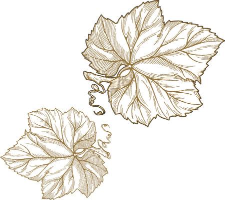 Engraving style illustration of grape leaves isolated on white background. Element for design. Stock Illustratie