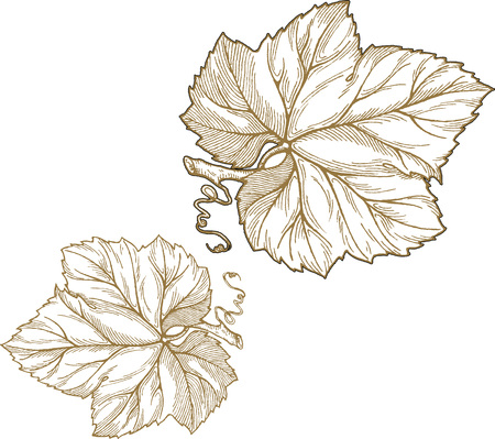 Engraving style vector illustration of grape leaves isolated on white background. Element for design. Ilustração