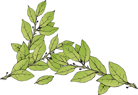Hand drawn green laurel leaves isolated on white background. Vector illustration