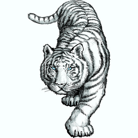 The white Bengal tiger crouching before jumping. Vector illustration.