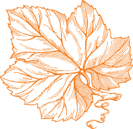 Engraving style vector illustration of orange grape leaf isolated on white background. Element for design.