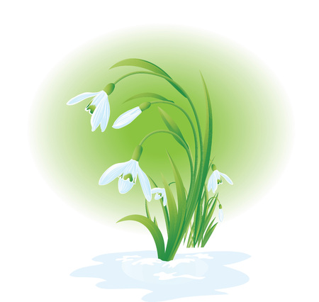 Blossom spring snowdrops Illustration