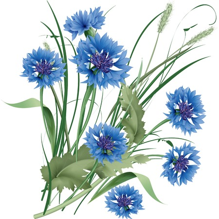 Bouquet bunch of blue cornflowers wildflowers with green leaves. Vector illustration.
