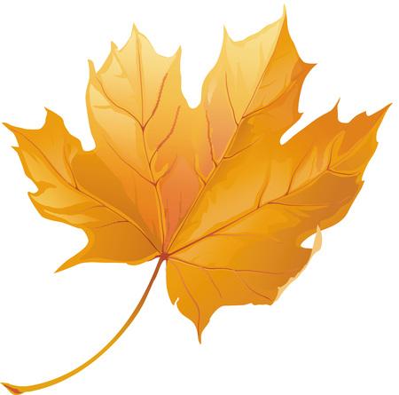 Realistische einzelne Herbst Herbst gelb Ahornblatt isoliert auf weißem Hintergrund . Vektor-Illustration Standard-Bild - 96069758