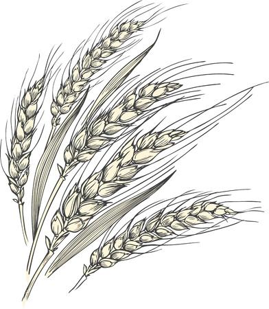 Illustration vectorielle dessinée à la main de quelques épis de blé mûrs avec des feuilles. Vecteurs