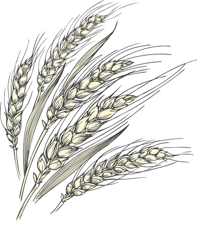 Hand-drawn vector illustration of a few ripe wheat ears with leaves.