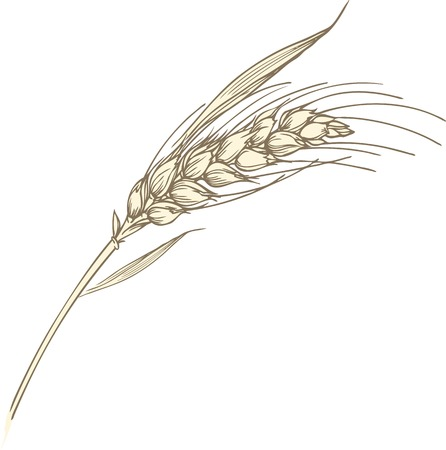 Hand-drawn vector illustration of single wheat ear with leaves.