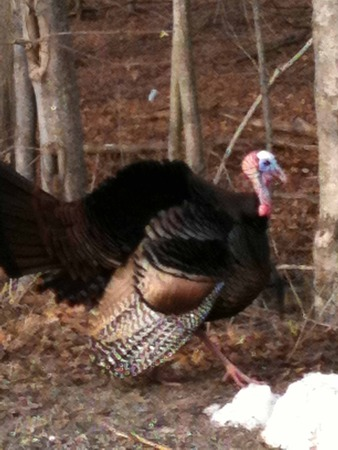 connecticut: turkey in Connecticut forest Stock Photo