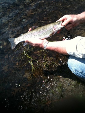 rainbow trout: rainbow trout caught on opening day of fishing