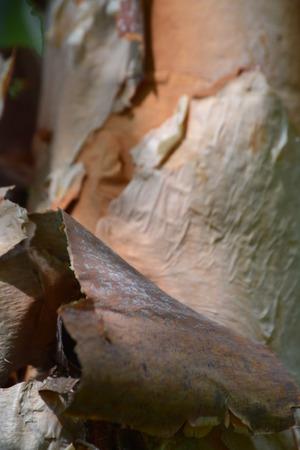 プラタナス: アメリカ プラタナスの樹皮