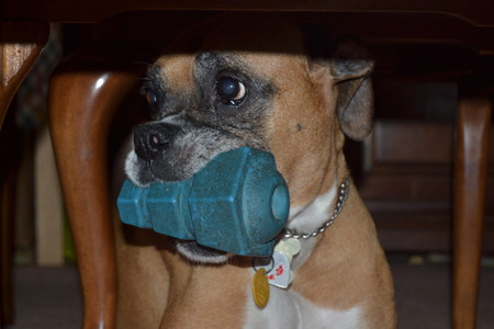 k9: boxer under table with toy
