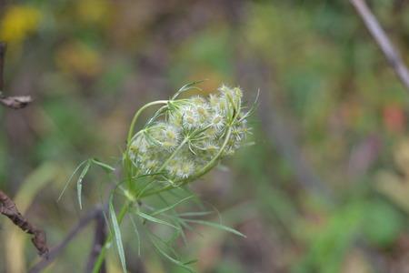 yarrow: close up of yarrow