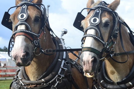 carnal: close up of two horses Stock Photo