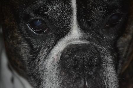 curios: close up of boxer