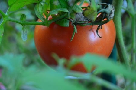 close up of tomatoe