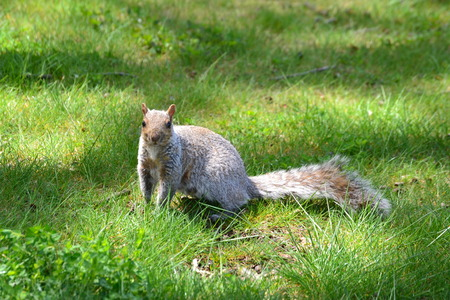 us sizes: squirrel on the ground Stock Photo