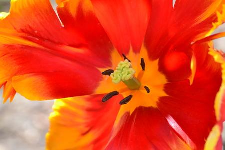 angiosperms: close up of Tulip Stock Photo