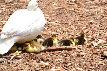 mother muscovy with babies Stock Photo