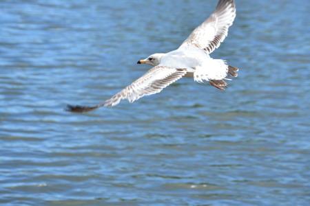 siegel: siegel flying Stock Photo