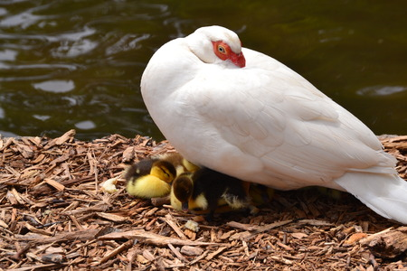 muscovy duck: close up muscovy duck with babies