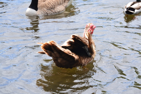 muscovy duck: close up muscovy duck