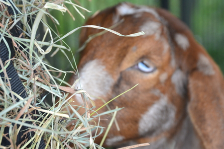 close up of goat eating Stock Photo