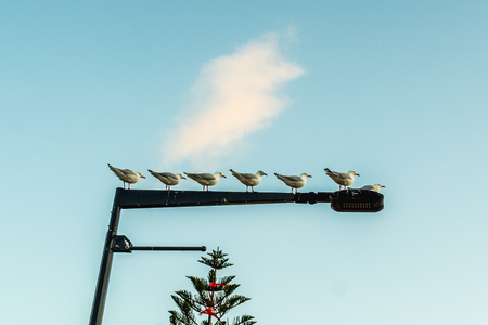 hierarchy: a flock of seagull lining on a lamp pole