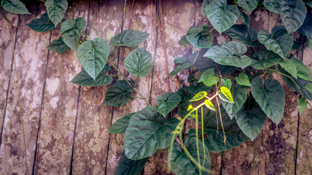 sprawl: Heart shaped ivy green leaves climbing on artistic rustic and weathered wood fence
