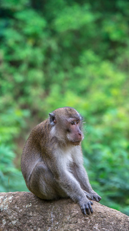 Old macaque monkey sitting on the rock Stock Photo