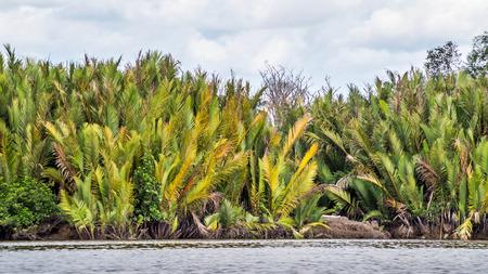 Nipa  Mangrove palm  Nypa fruticans trees along the coast