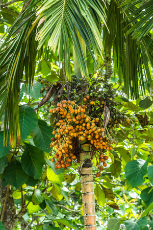 Areca arecaidine  Betel nut tree with fruits. Betel nut is used as traditional medicine in some area in Asia Stock Photo