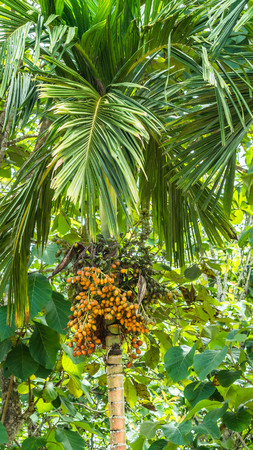 Areca arecaidine  Betel nut tree with fruits. Betel nut is used as traditional medicine in some area in AsiaAreca arecaidine  Betel nut tree with fruits. Betel nut is used as traditional medicine in some area in Asia Stock Photo