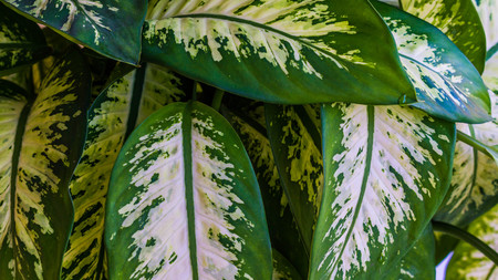 closeup of dieffenbachia leaves with beautiful pattern. natural texture background