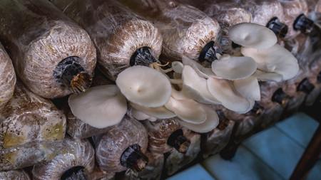 white oyster mushroom farming, indoor. selective focus Standard-Bild