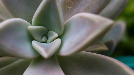 closeup of succulent plant with unique geometric shape of leaves