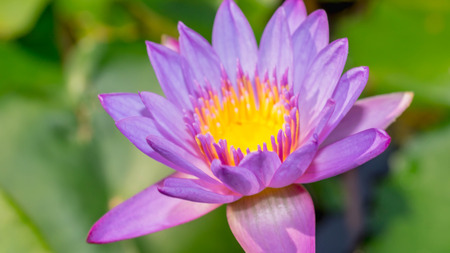 purple waterlily flower with green leave as the background