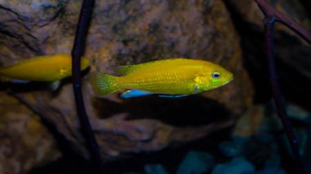 lemon cichlid fish Labidochromis caeruleus Stock Photo