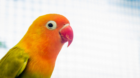 closeup of Cute and colorful lovebird