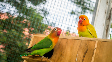 Cute and colorful lovebird on the breeding box inside the cage Stockfoto