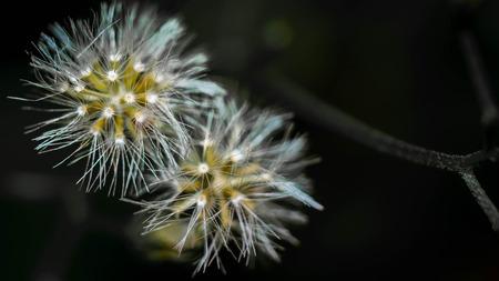 wild dandelion flower