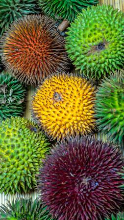 different variety of durian fruit that can be found in Borneo, Indonesia.; D. conatus, Durio kutejensis, Durio zibethinus, Durio oxleyanus, Durio dulcis Imagens