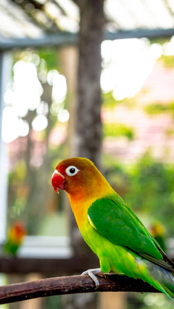 colorful love bird Agapornis fischeri perching on the branch